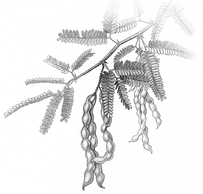 mesquite, illustration by Paul Mirocha